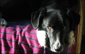Betty Boots, black lab and border collie cross