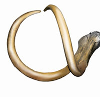 Colored mammoth tusks