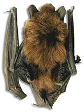 A mummified bat